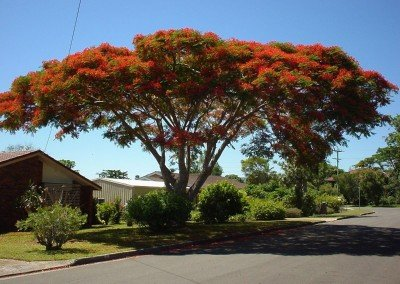 2002-dec-poinciana-buderim-2