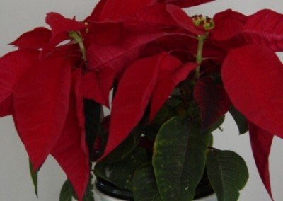2002-dec-poinsettia