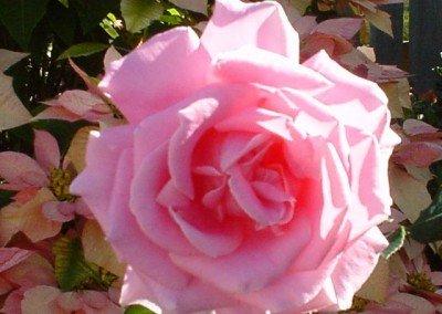 2002-june-pink-rose