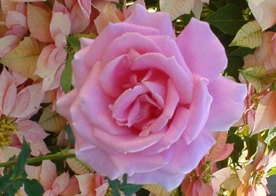 2002-june-pink-rose-and-poinsettia
