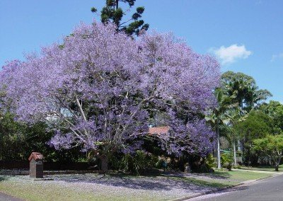 2002-may-jacaranda-tree-buderim