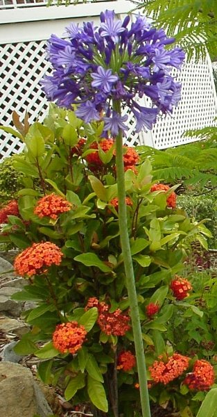 2002-nov-agapantha-and-ixia-front-garden