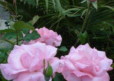 2002-nov-pink-roses-in-front-garden