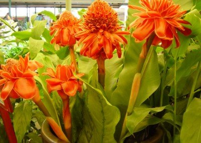 2003-orange-flowers-ginger-festival