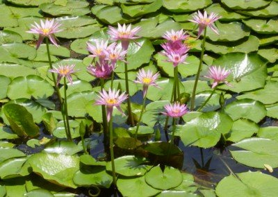 2003-water-lillies-ginger-factory
