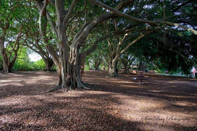 wirreanda-trees
